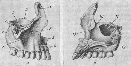 верхнечелюстная кость