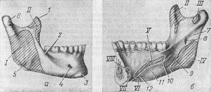 нижняя челюсть и места прикрепления мышц