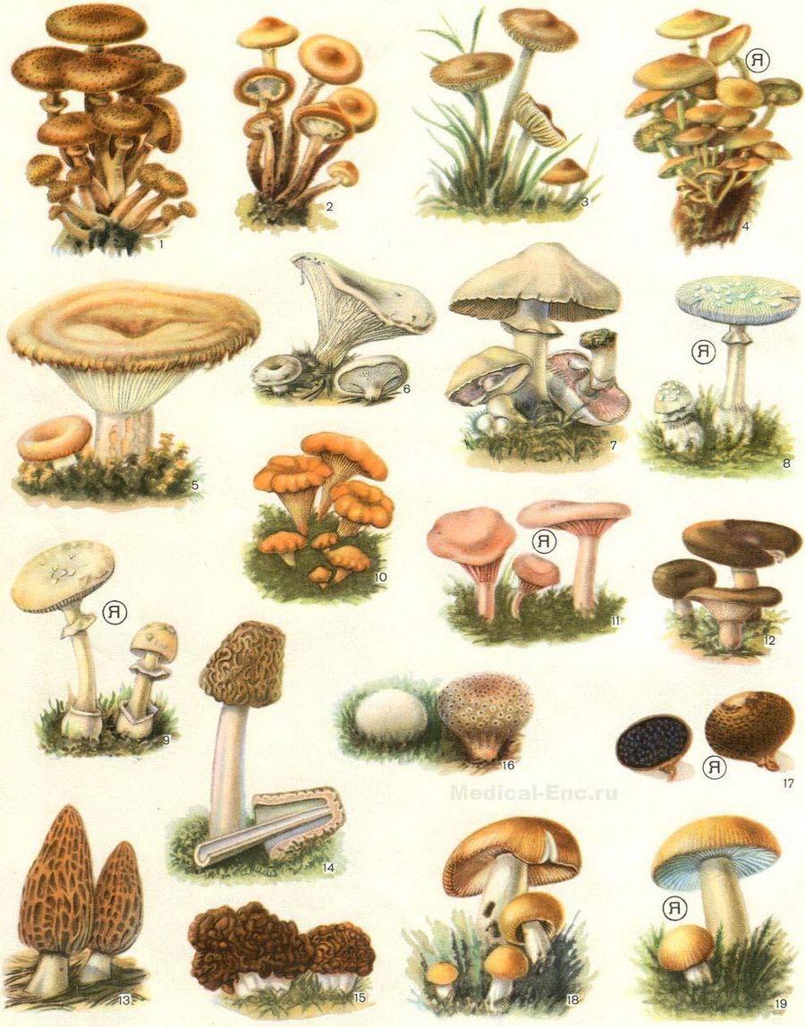 Съедобные грибы в картинках с