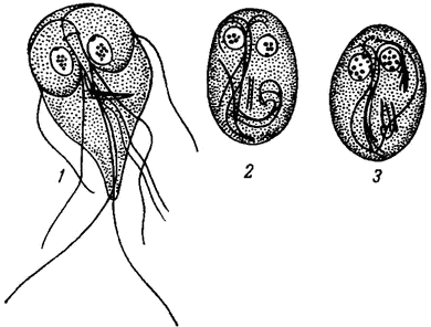 lamblia intestinalis